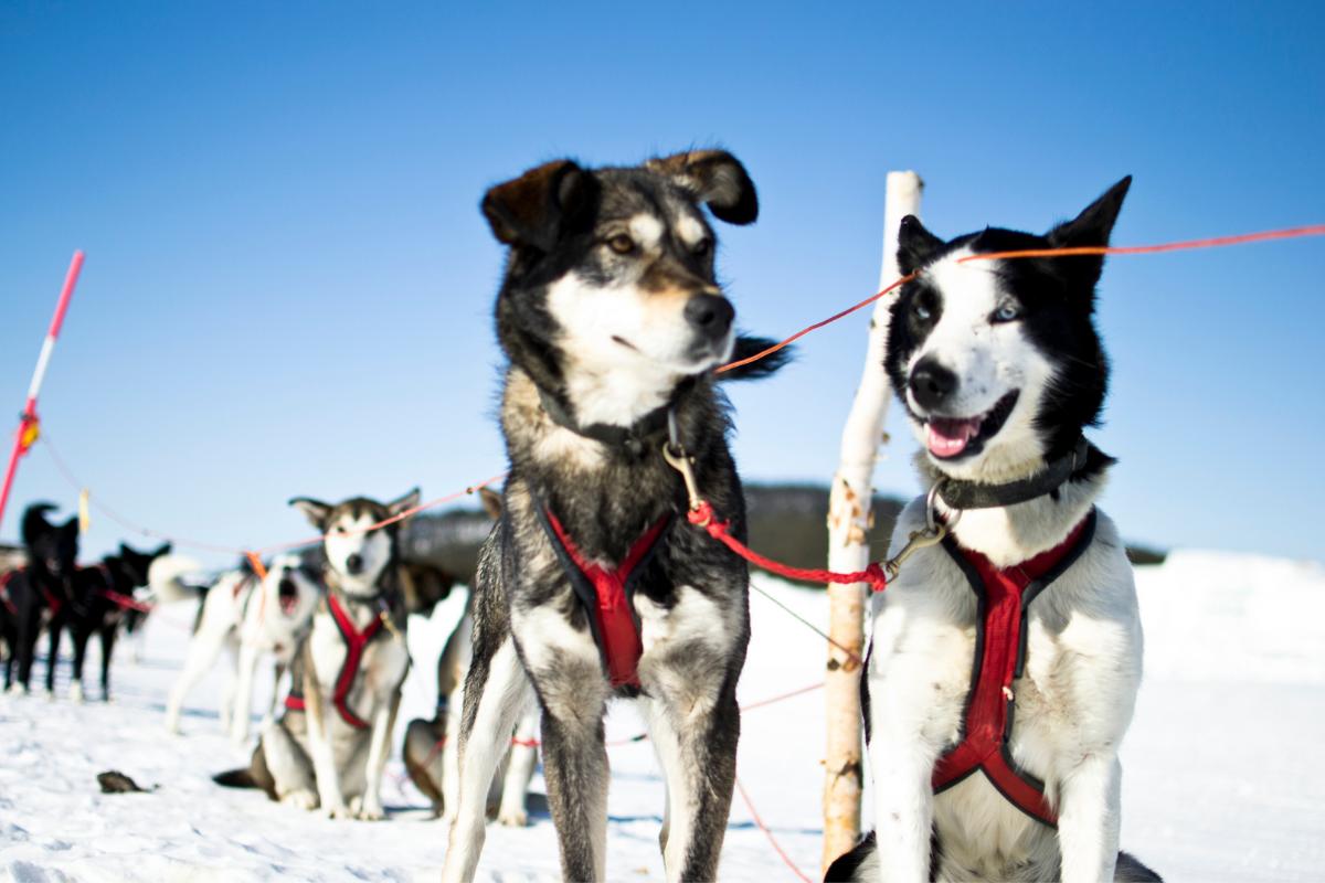 Unterwegs mit Schlittenhunden